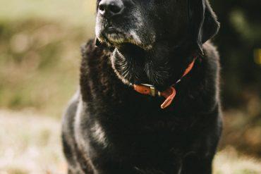 Mature Dog Pondering Life